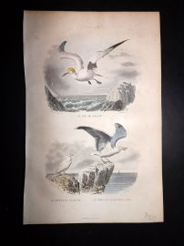 Buffon 1849 Hand Col Bird Print. Northern Gannet, Gulls